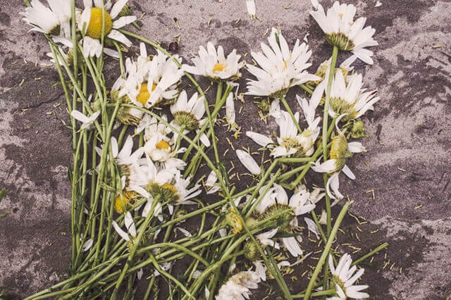 flowers-marguerites-destroyed-dead (1)